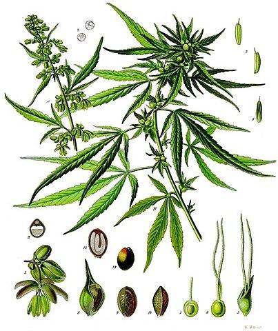 Roślina konopi